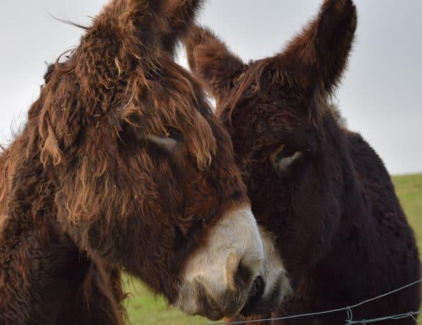 Elya et Damzel, des ânesses à Bulle Nature, au lieu-dit La Prévisière, au Poiré sur Vie en Vendée