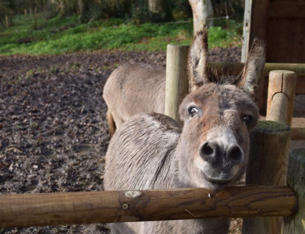 Nougatine, un âne à Bulle Nature, au lieu-dit La Prévisière, au Poiré sur Vie en Vendée