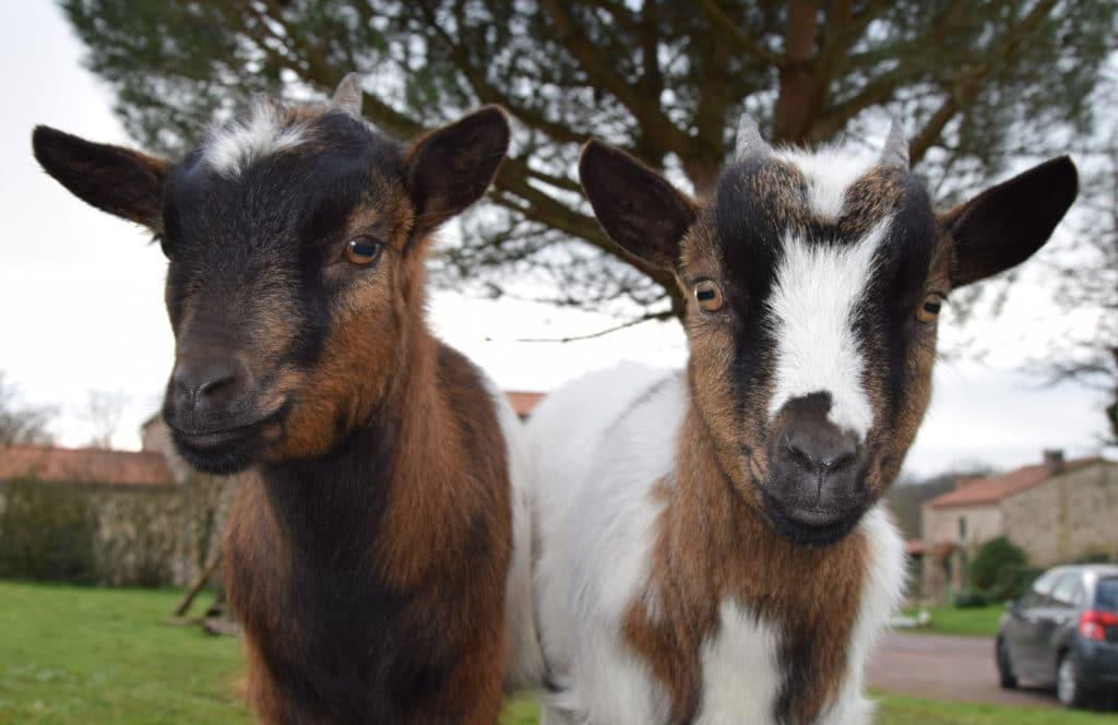 Paco et Pipa, les chèvres naines de Bulle Nature, au lieu-dit La Prévisière, au Poiré sur Vie en Vendée