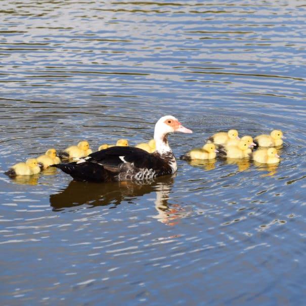 Les canards à Bulle Nature à la Prévisière au Poiré sur Vie en Vendée, hébergements naturels et zoothérapie