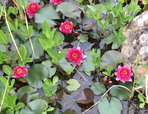 nénuphars piscine (2)
