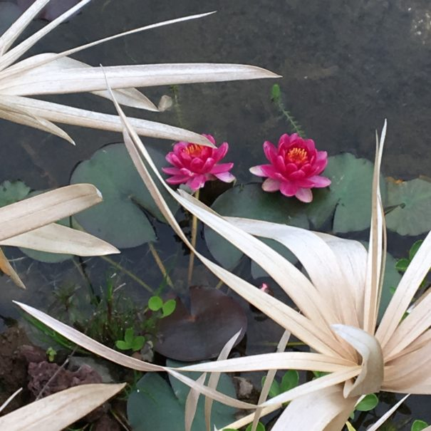 nénuphars piscine