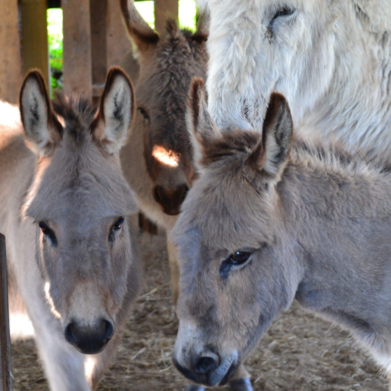 Les ânes de Bulle Nature, au lieu-dit La Prévisière, au Poiré sur Vie en Vendée